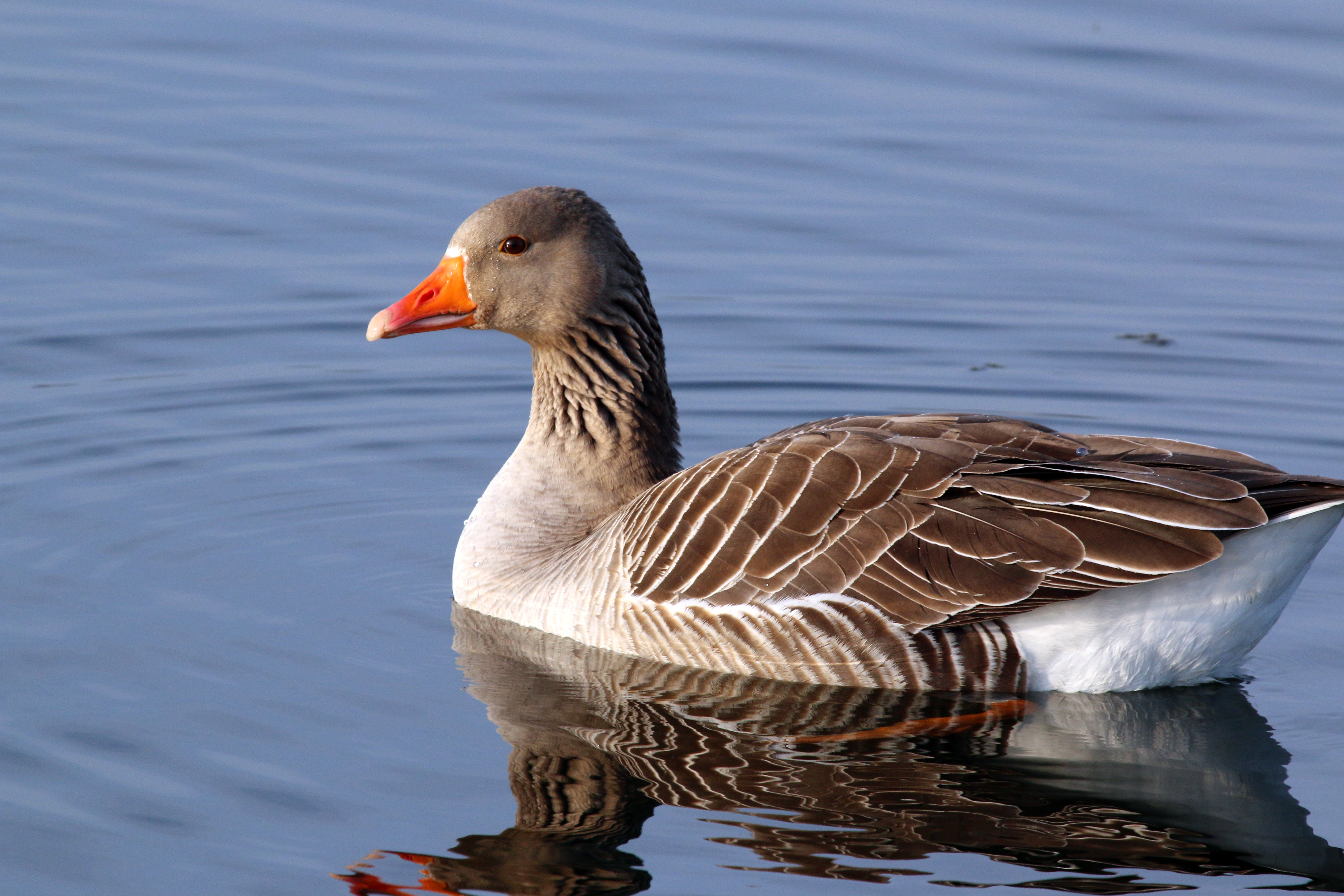 Greylag Goose wallpaper