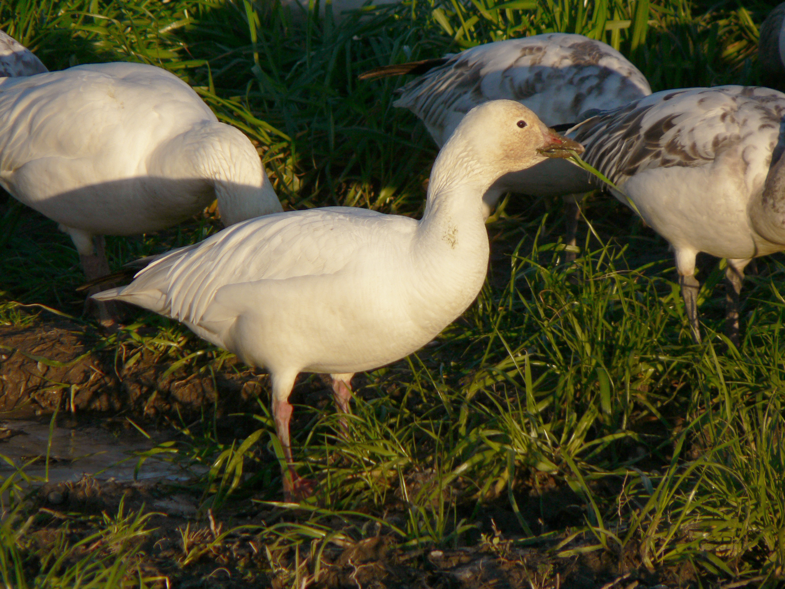 Snow Goose wallpaper