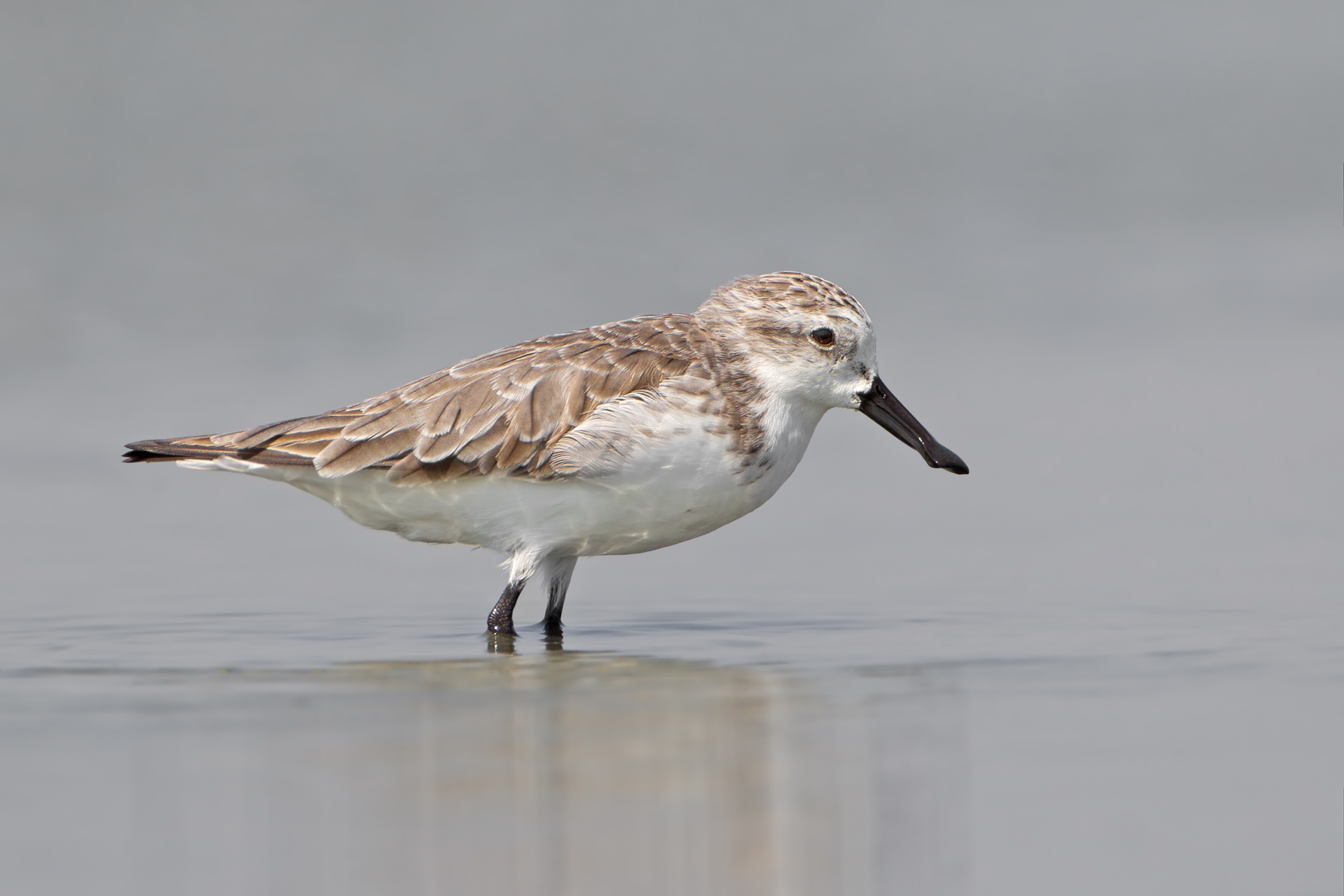 Spoon-billed Sandpiper wallpaper