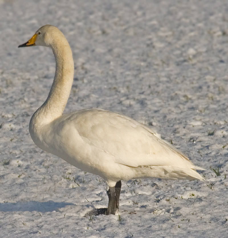 Whooper Swan wallpaper