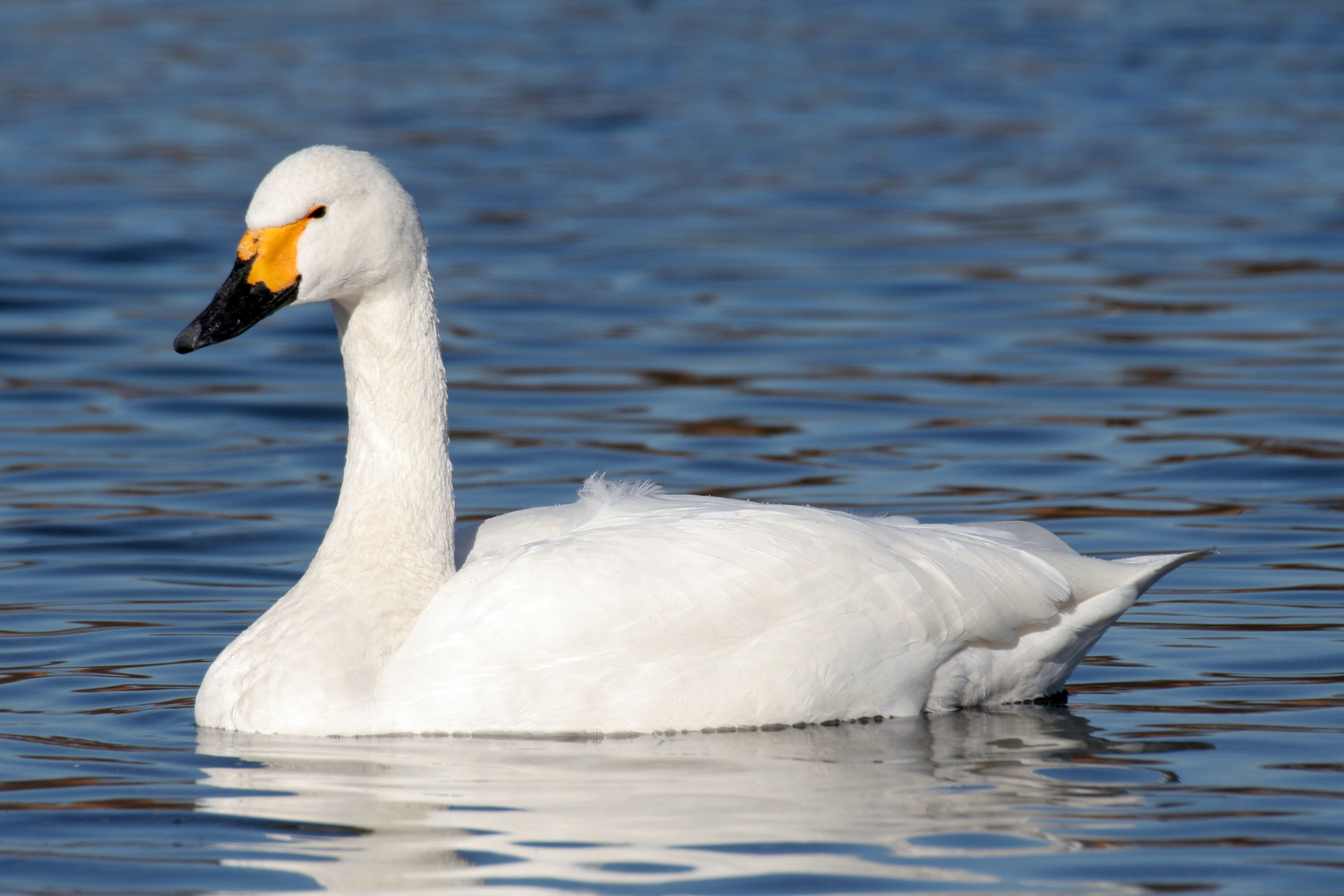 Tundra Swan wallpaper