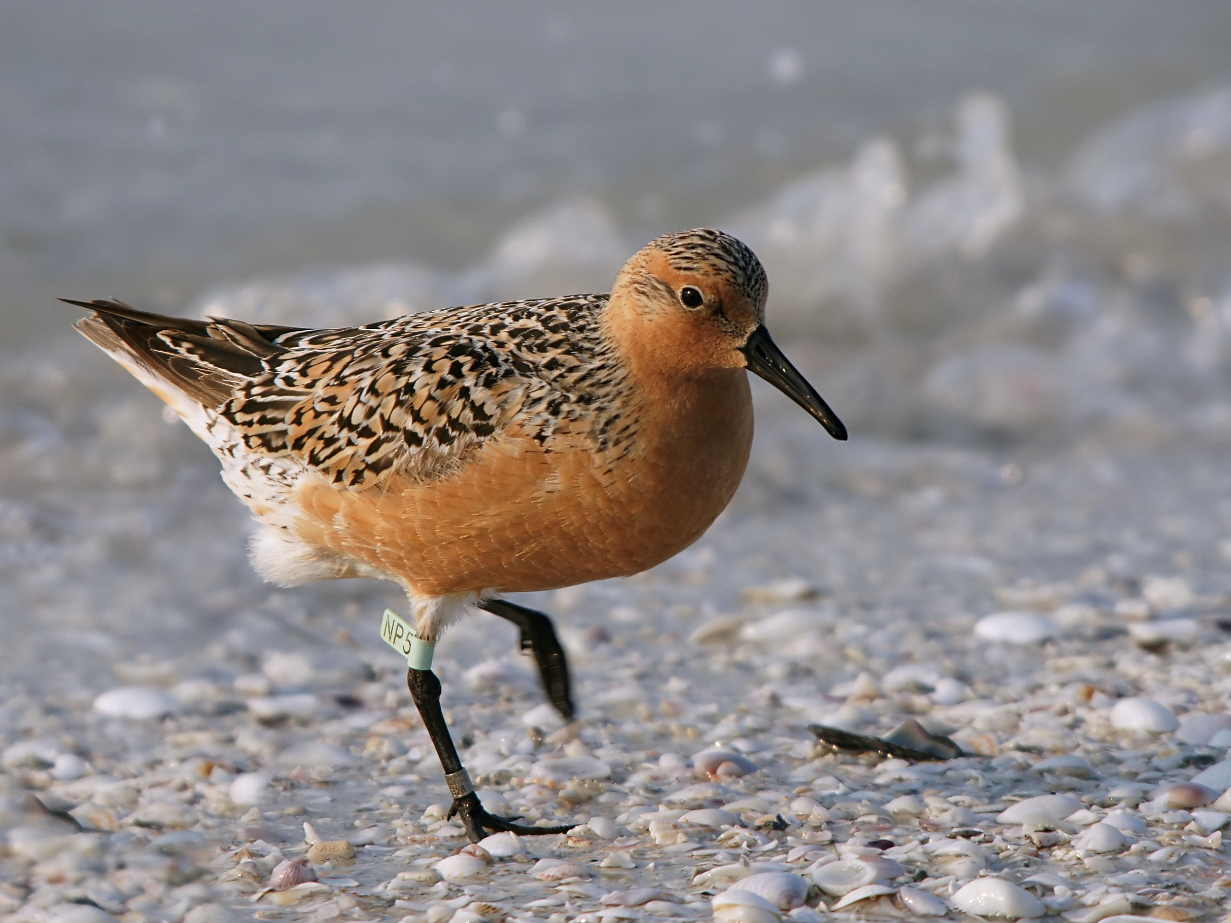 Red Knot wallpaper