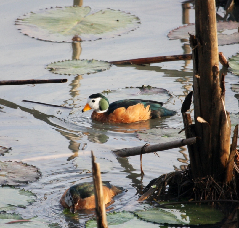 African Pygmy Goose wallpaper