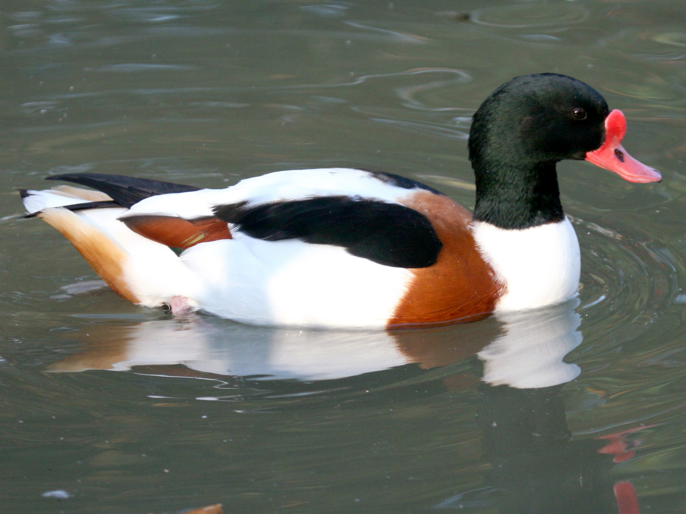 Common Shelduck wallpaper