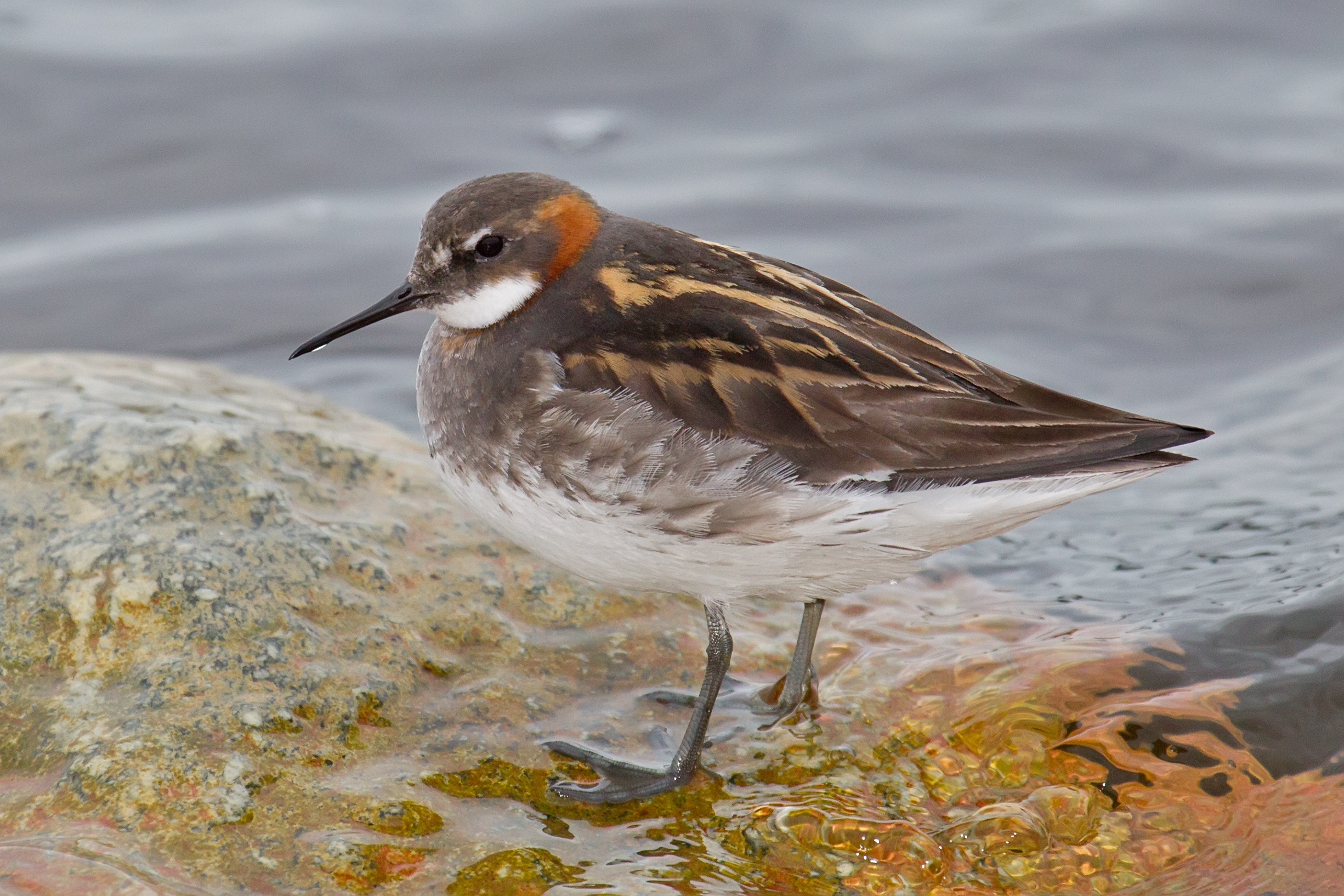 Red-necked Phalarope wallpaper