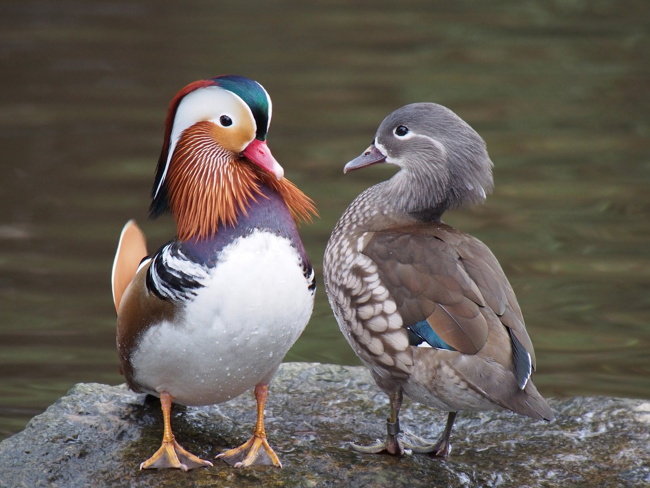 Mandarin Duck wallpaper