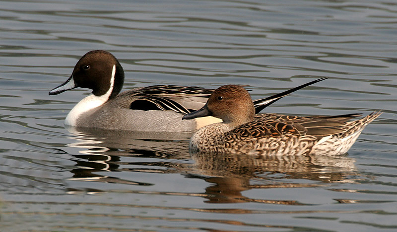 Northern Pintail wallpaper