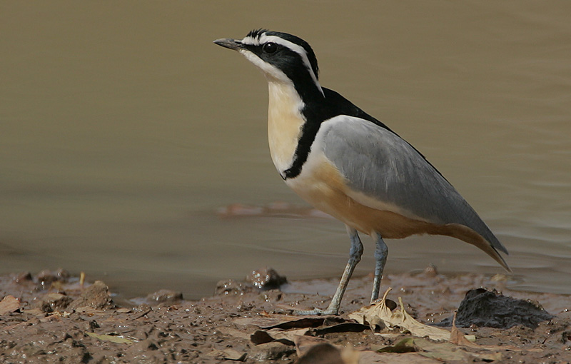 Egyptian Plover wallpaper