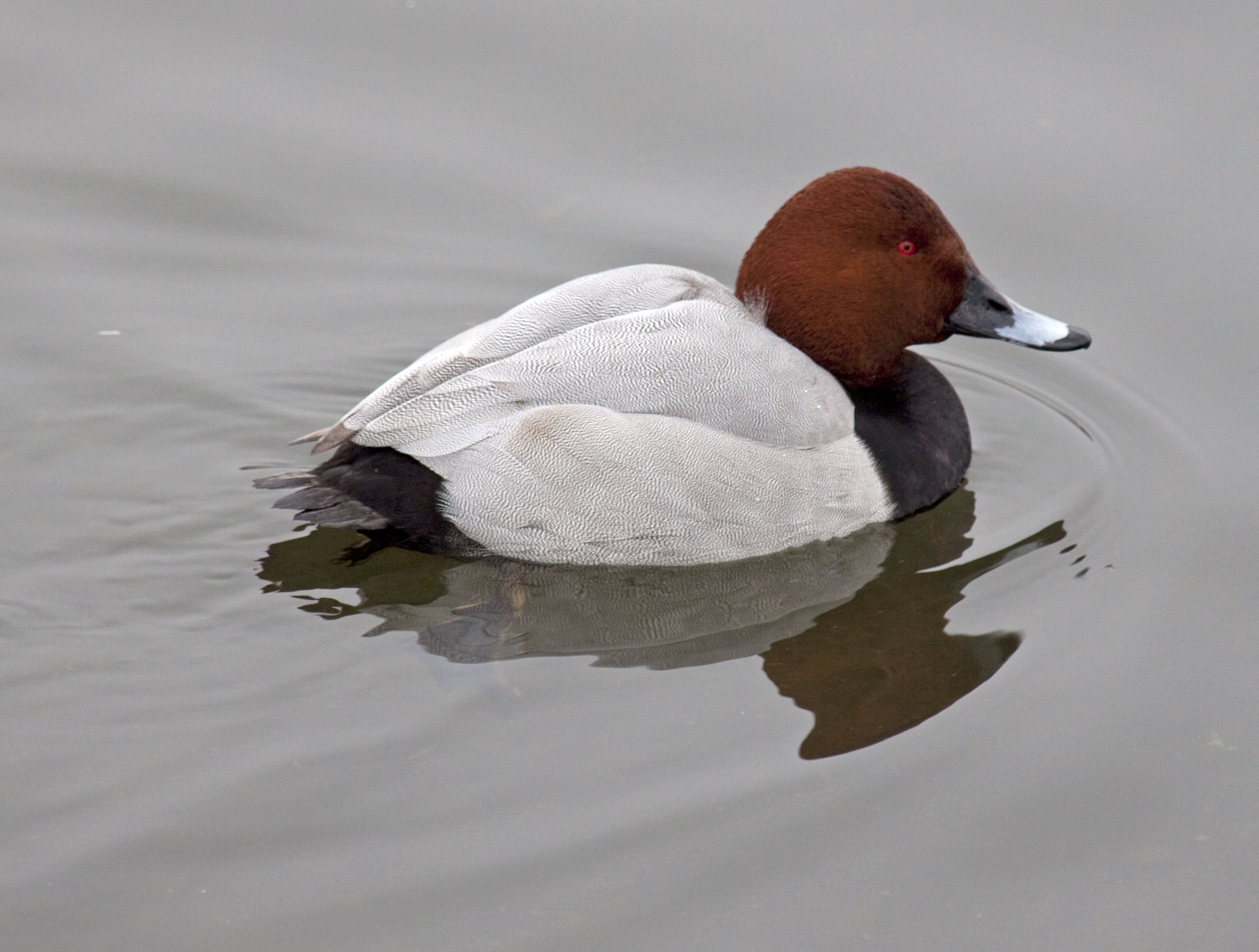 Common Pochard wallpaper
