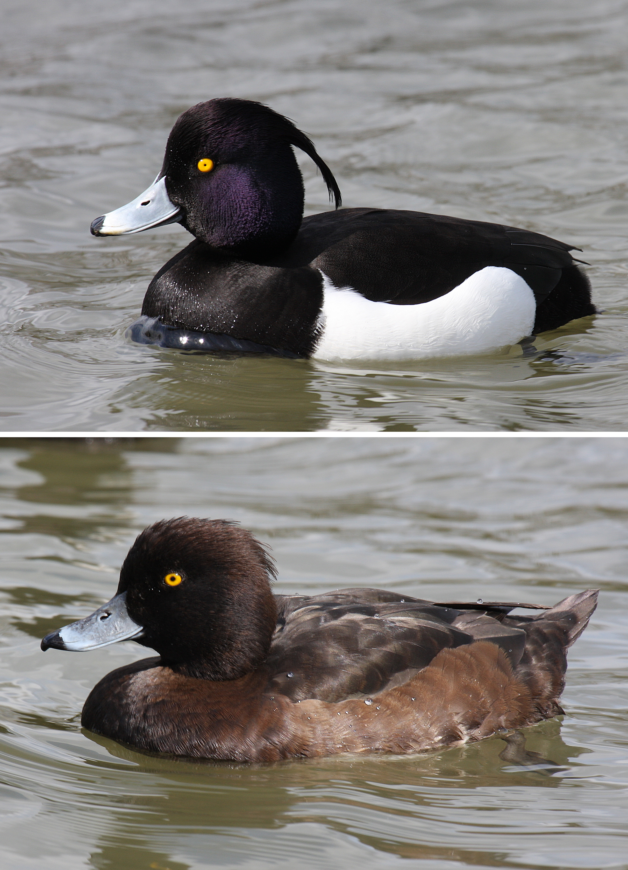 Tufted Duck wallpaper