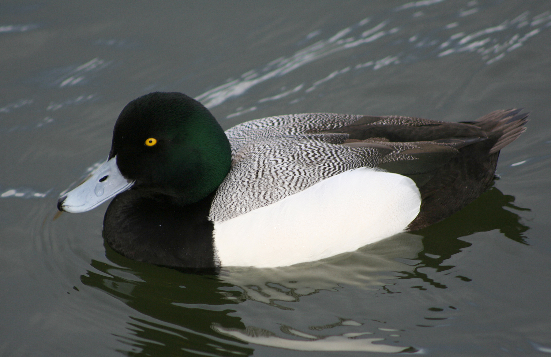 Greater Scaup wallpaper
