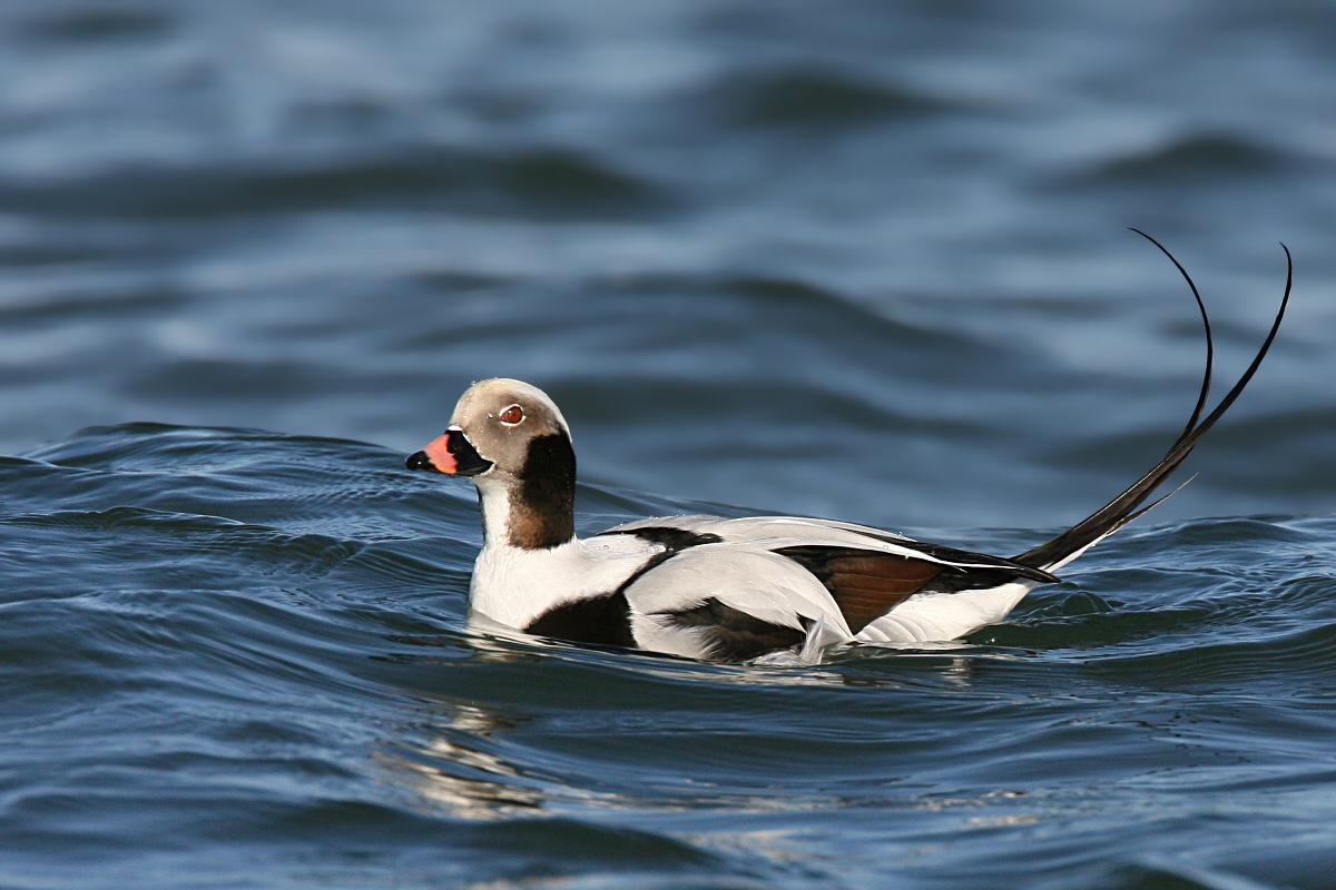Long-tailed Duck wallpaper