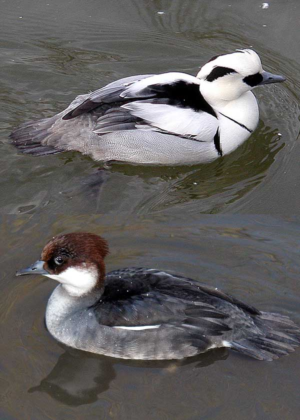 Smew wallpaper