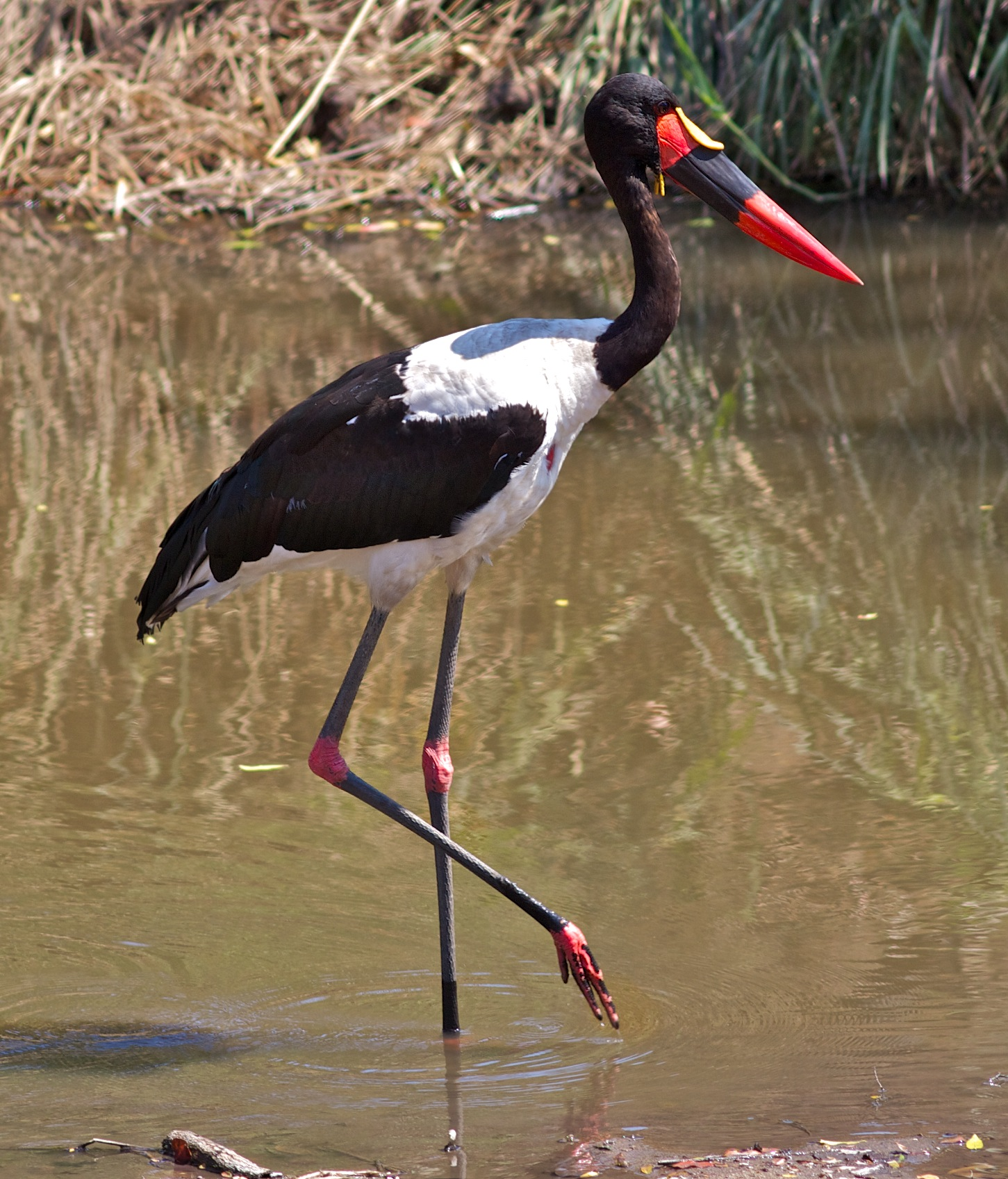 Saddle-billed Stork wallpaper
