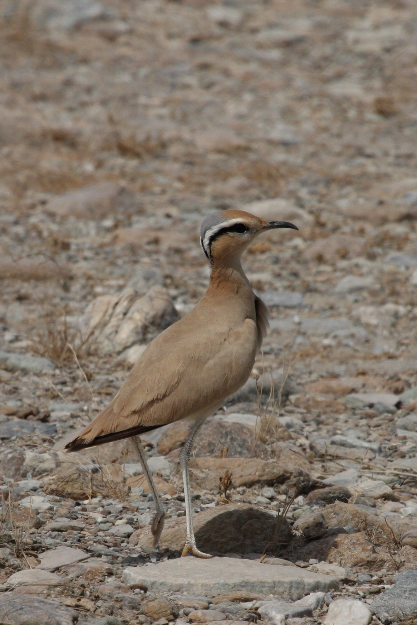 Cream-coloured Courser wallpaper