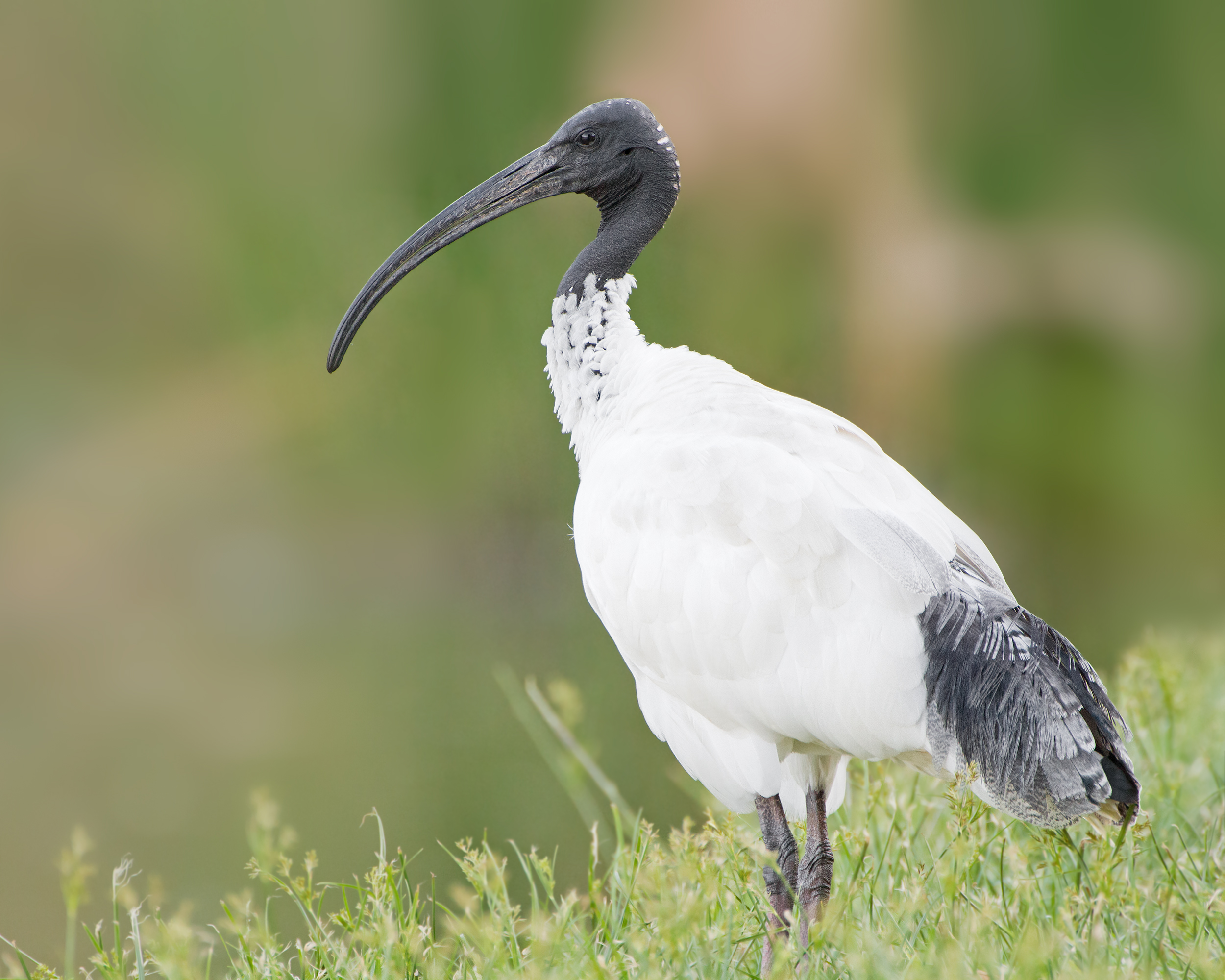 Australian White Ibis wallpaper