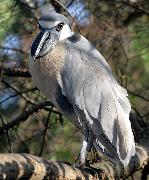 Boat-billed Heron wallpaper