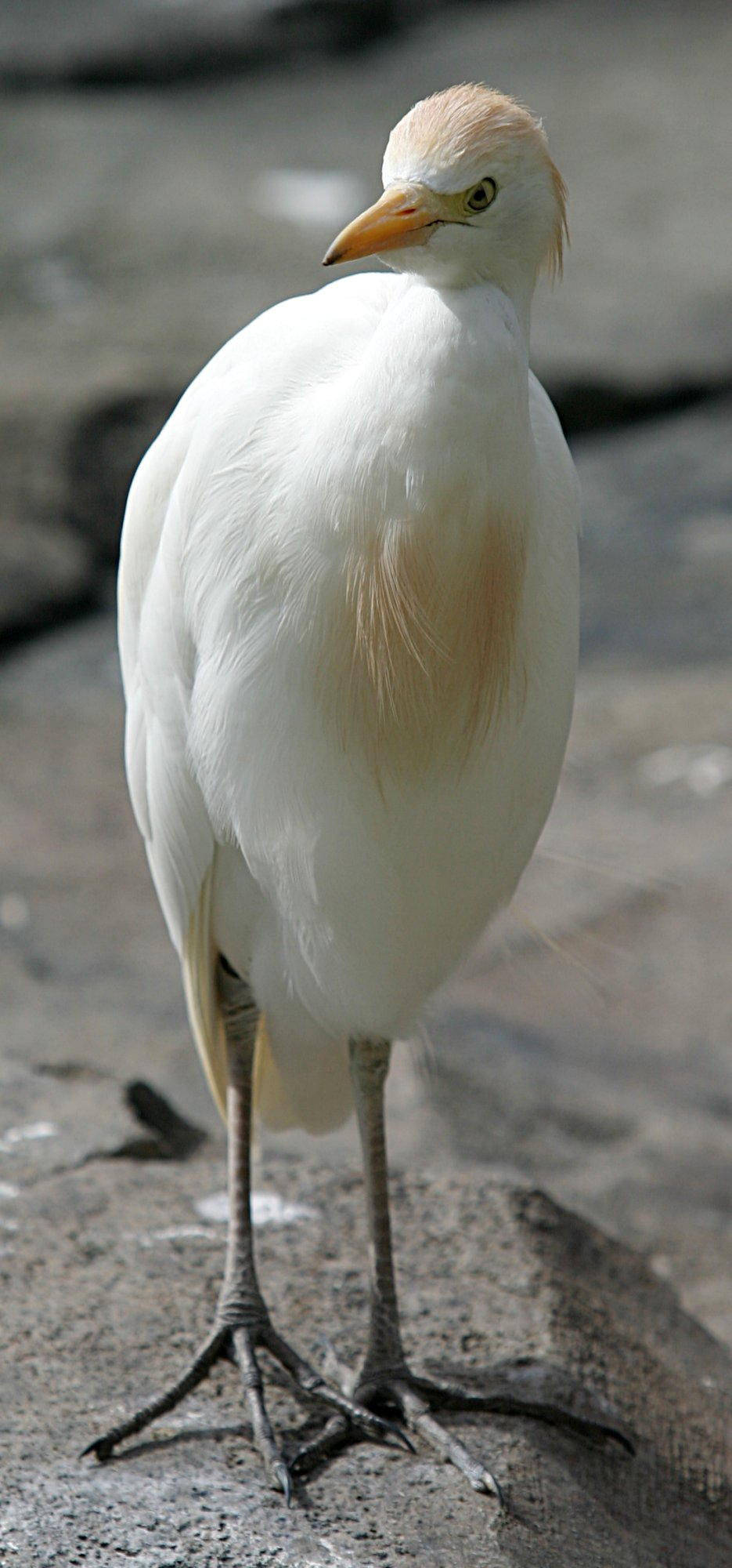 Cattle Egret wallpaper