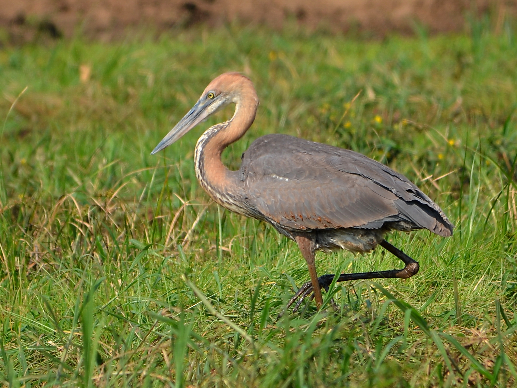 Goliath Heron wallpaper