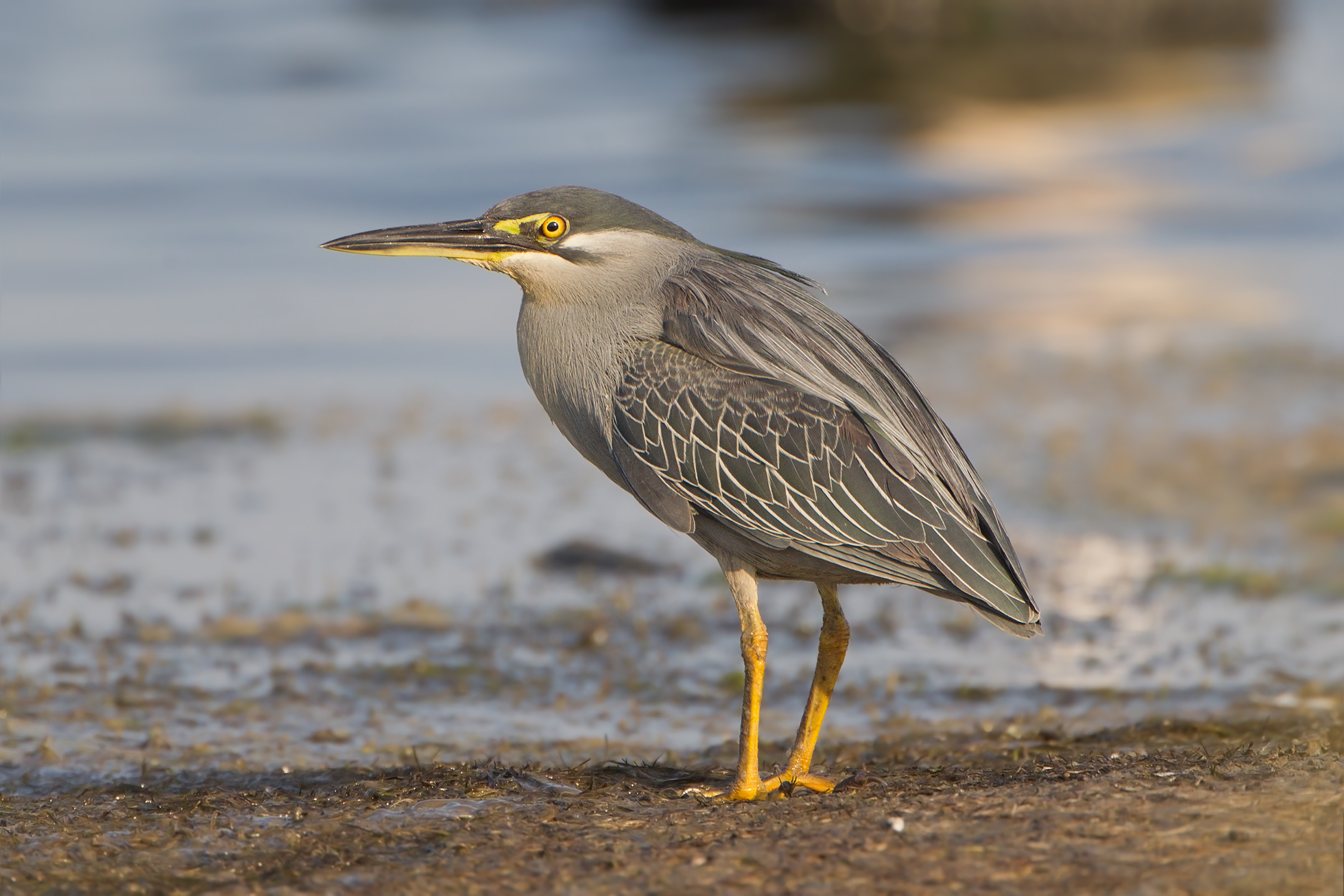 Striated Heron wallpaper
