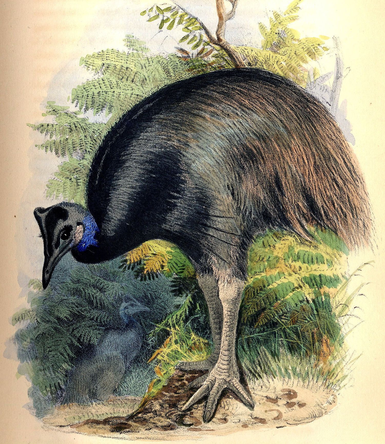 Dwarf Cassowary wallpaper