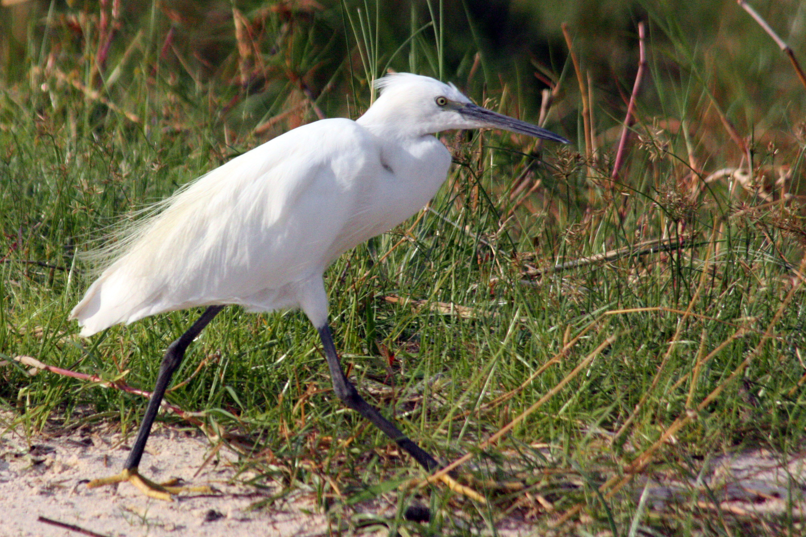 Little Egret wallpaper
