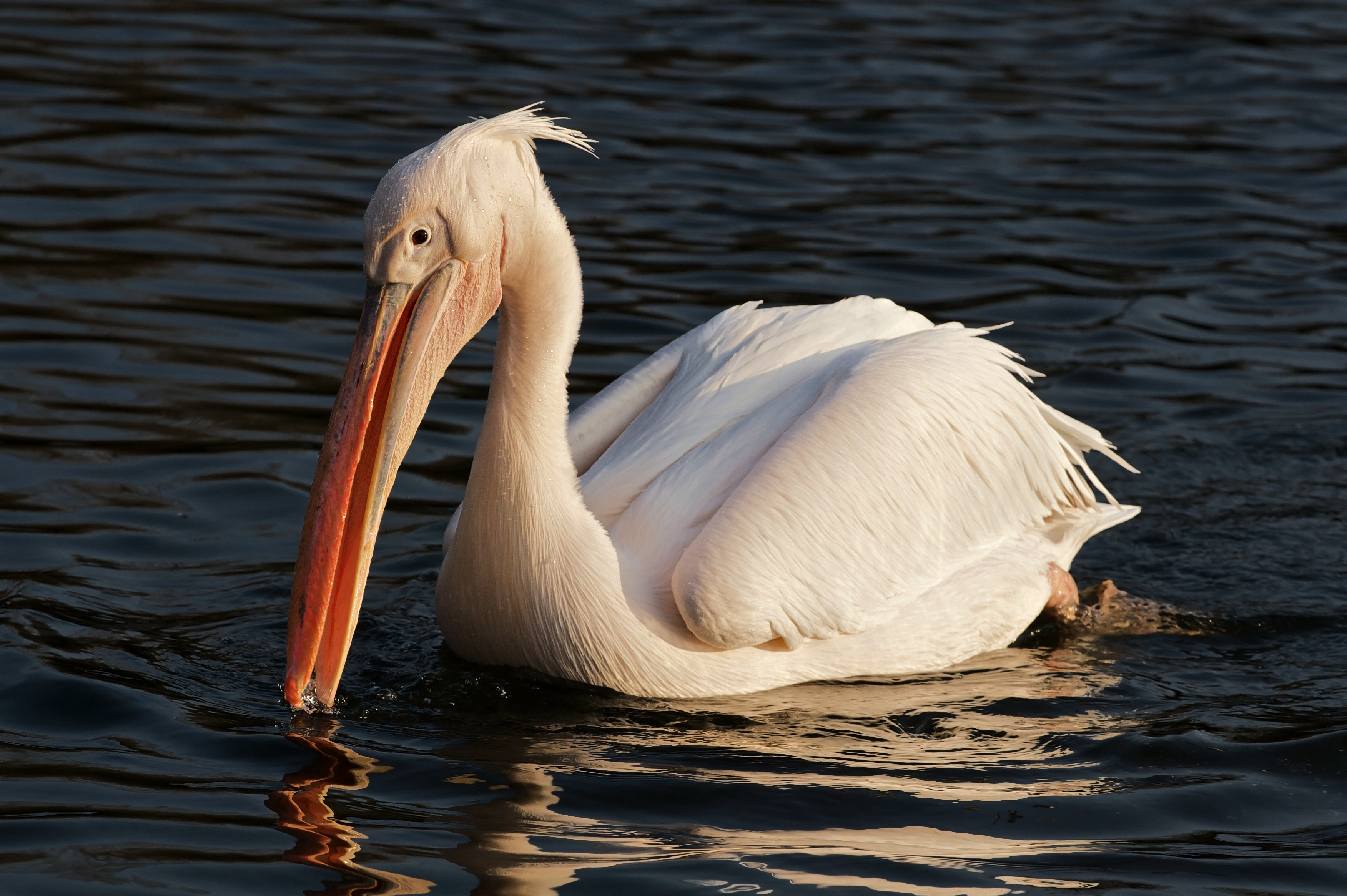 Great White Pelican wallpaper