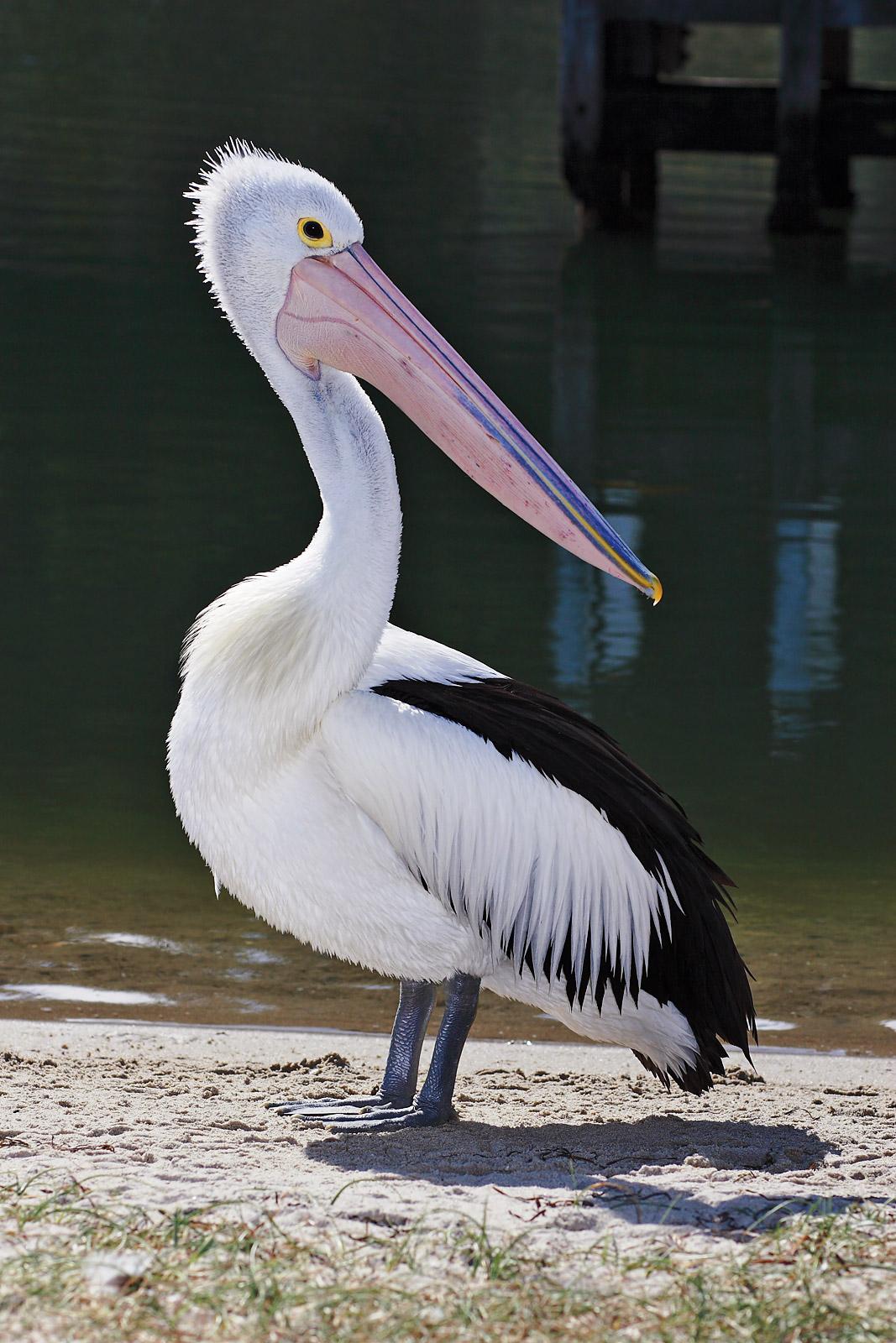 Australian Pelican wallpaper