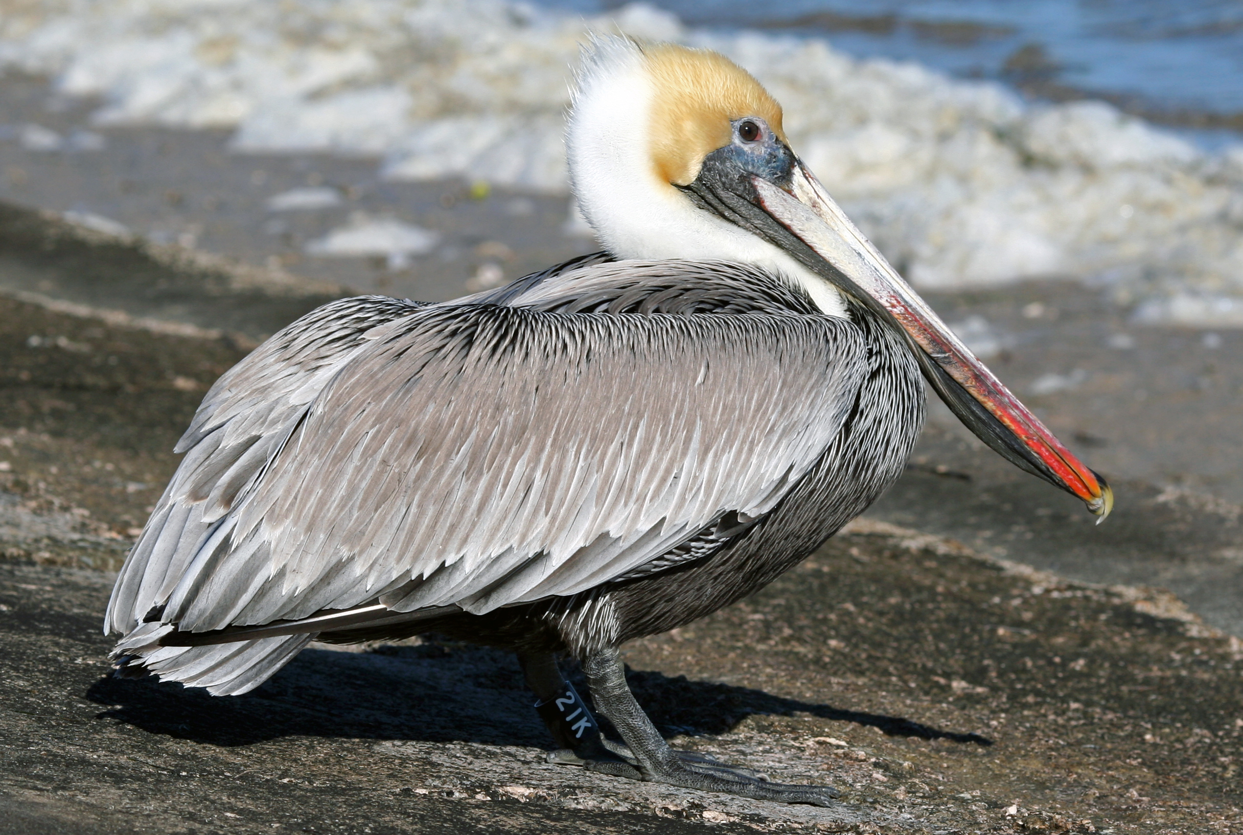 Brown Pelican wallpaper