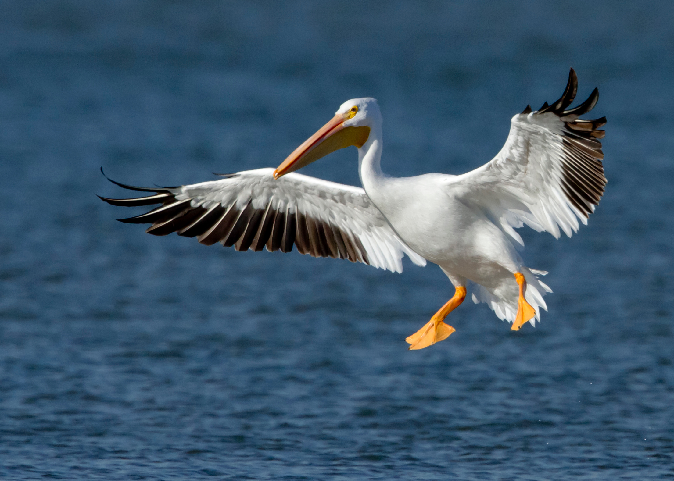 American White Pelican wallpaper