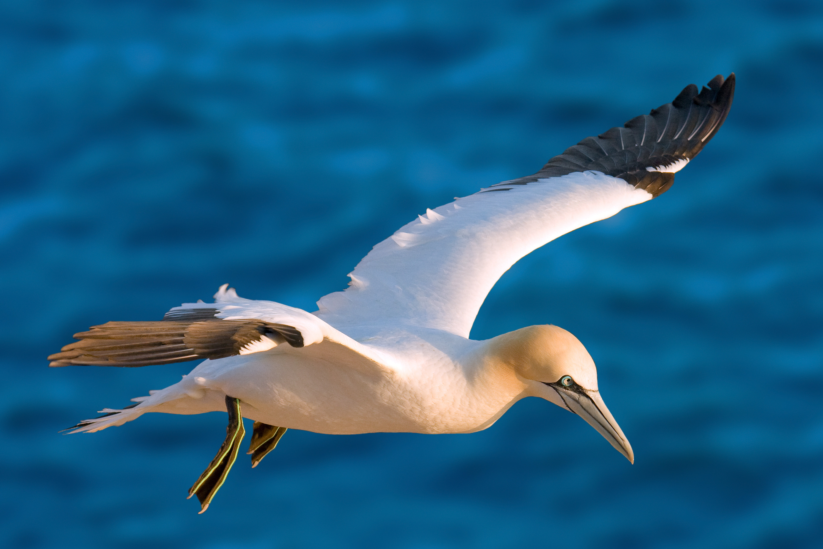 Northern Gannet wallpaper