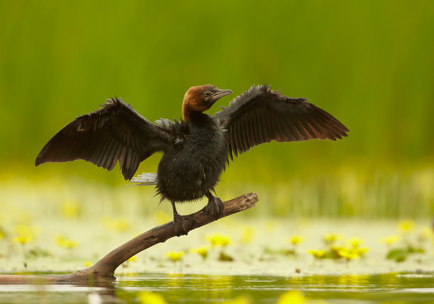 Pygmy Cormorant wallpaper