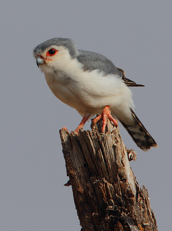 Pygmy Falcon wallpaper