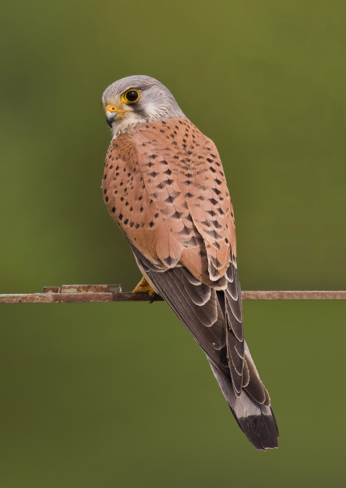Common Kestrel wallpaper