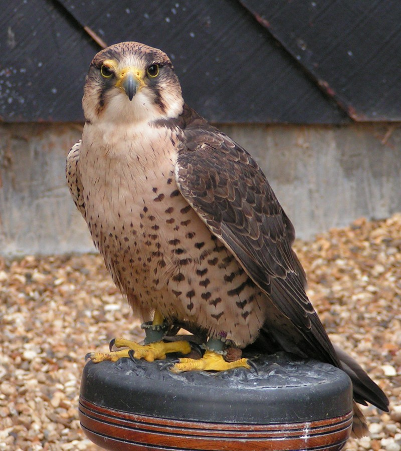 Lanner Falcon wallpaper