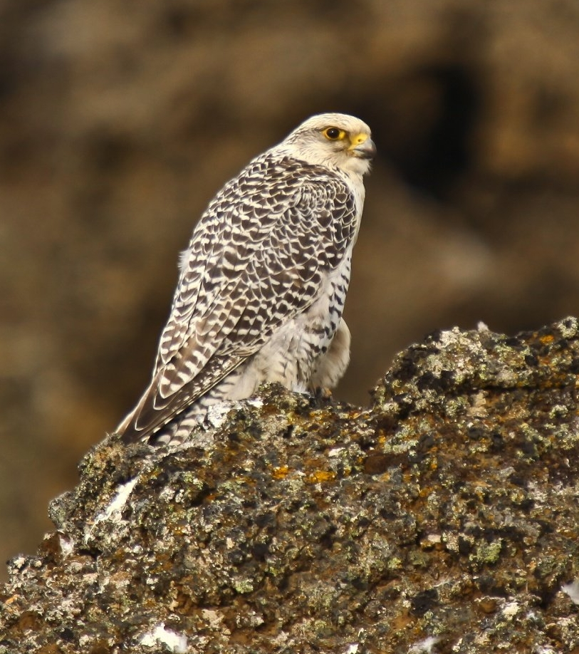 Gyrfalcon wallpaper
