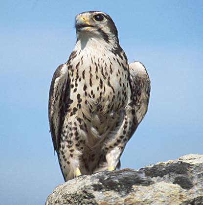 Prairie Falcon wallpaper