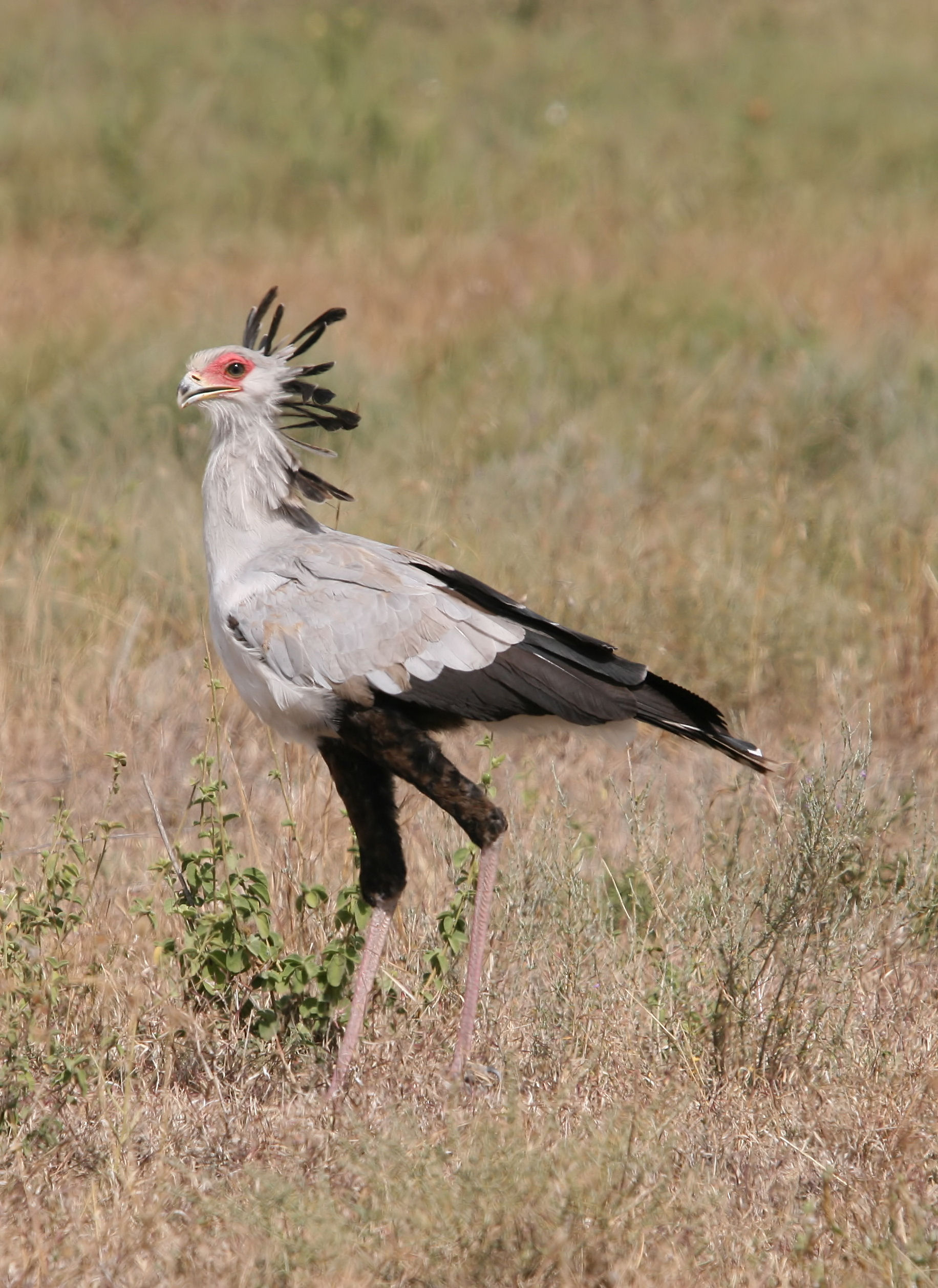 Secretary Bird wallpaper