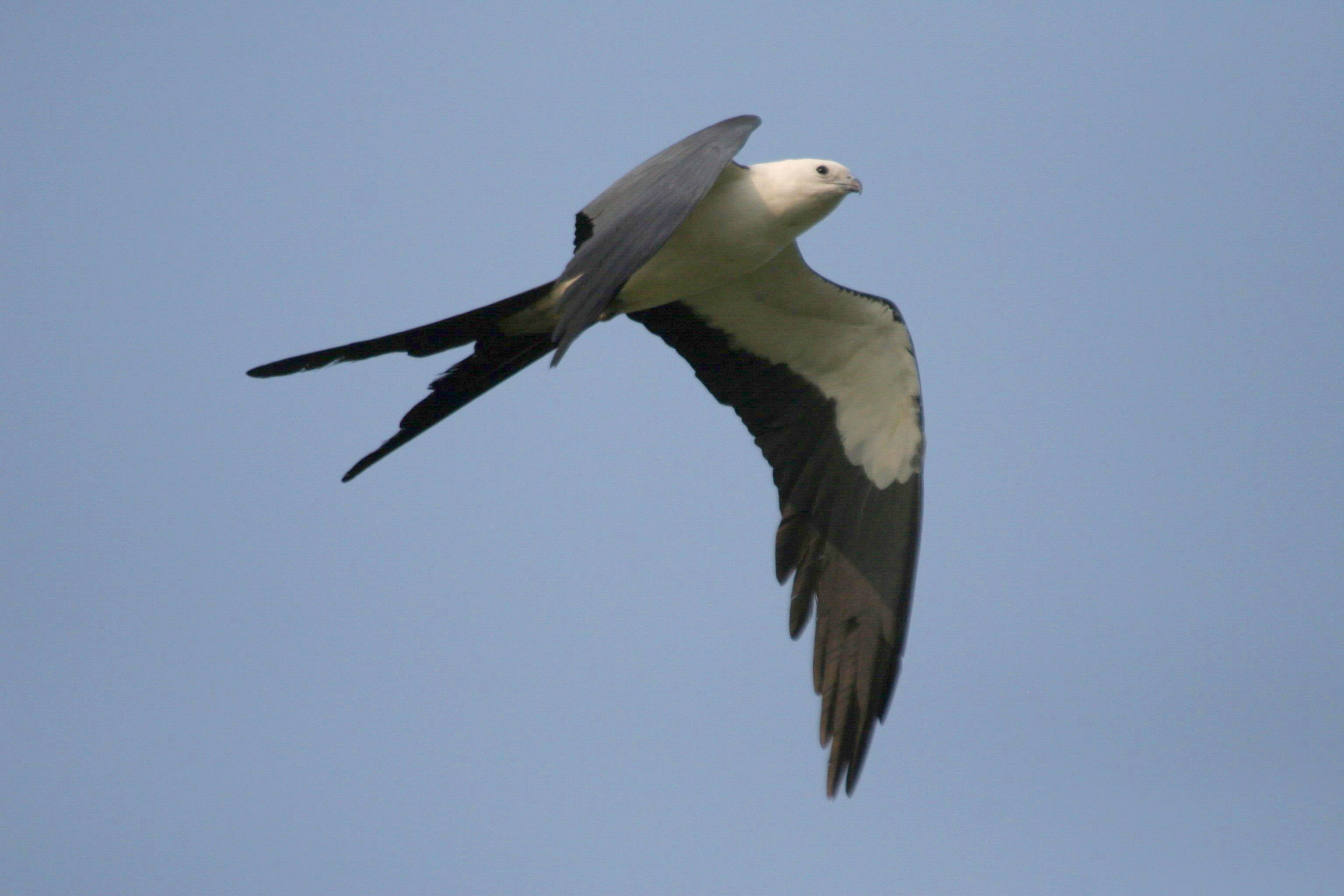 Swallow-tailed Kite wallpaper