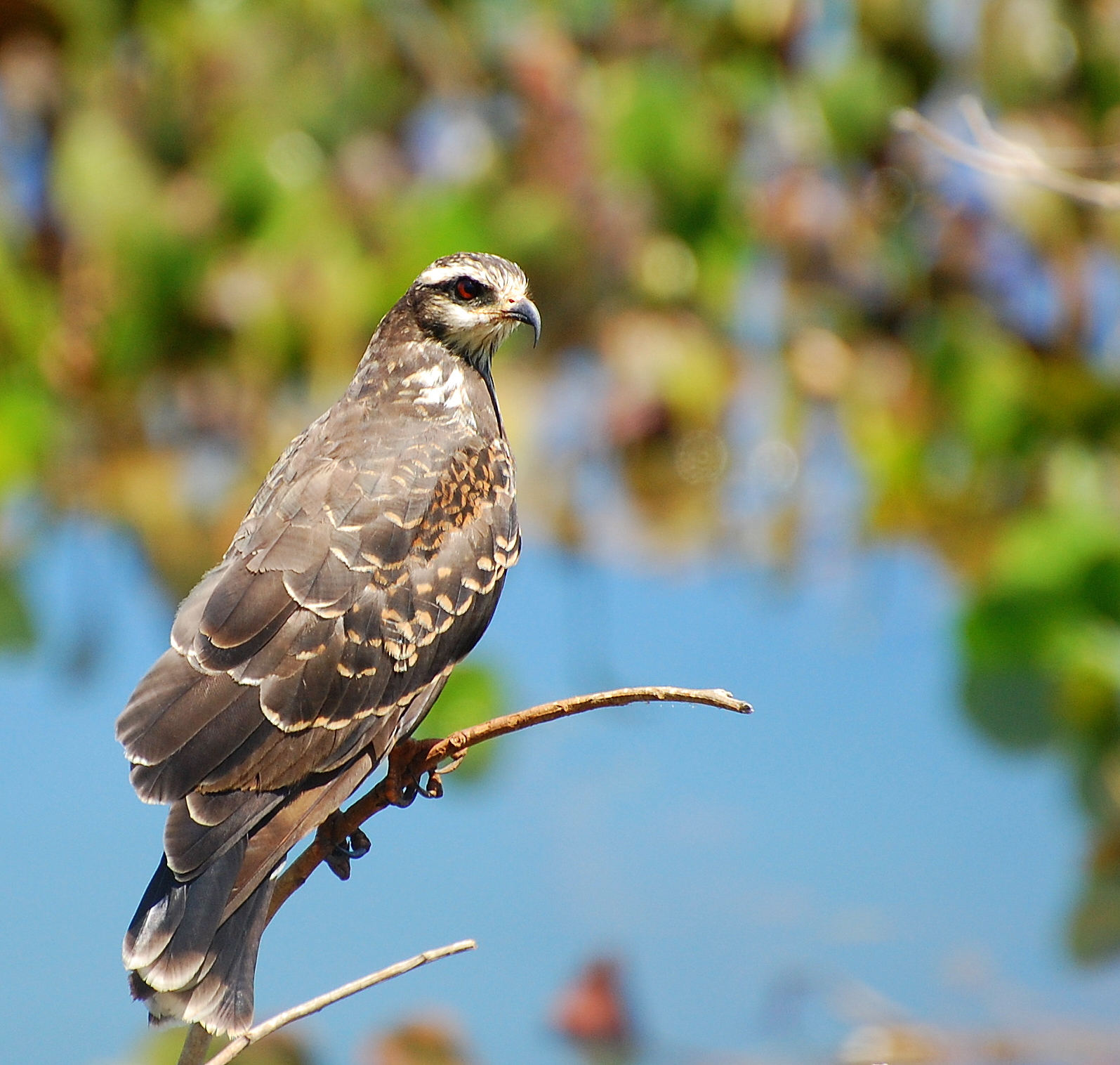 Snail Kite wallpaper