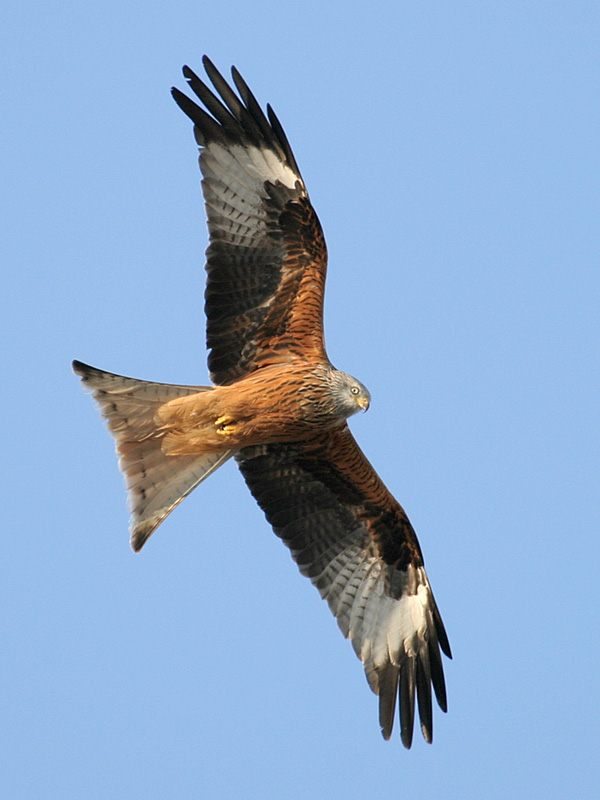 Red Kite wallpaper