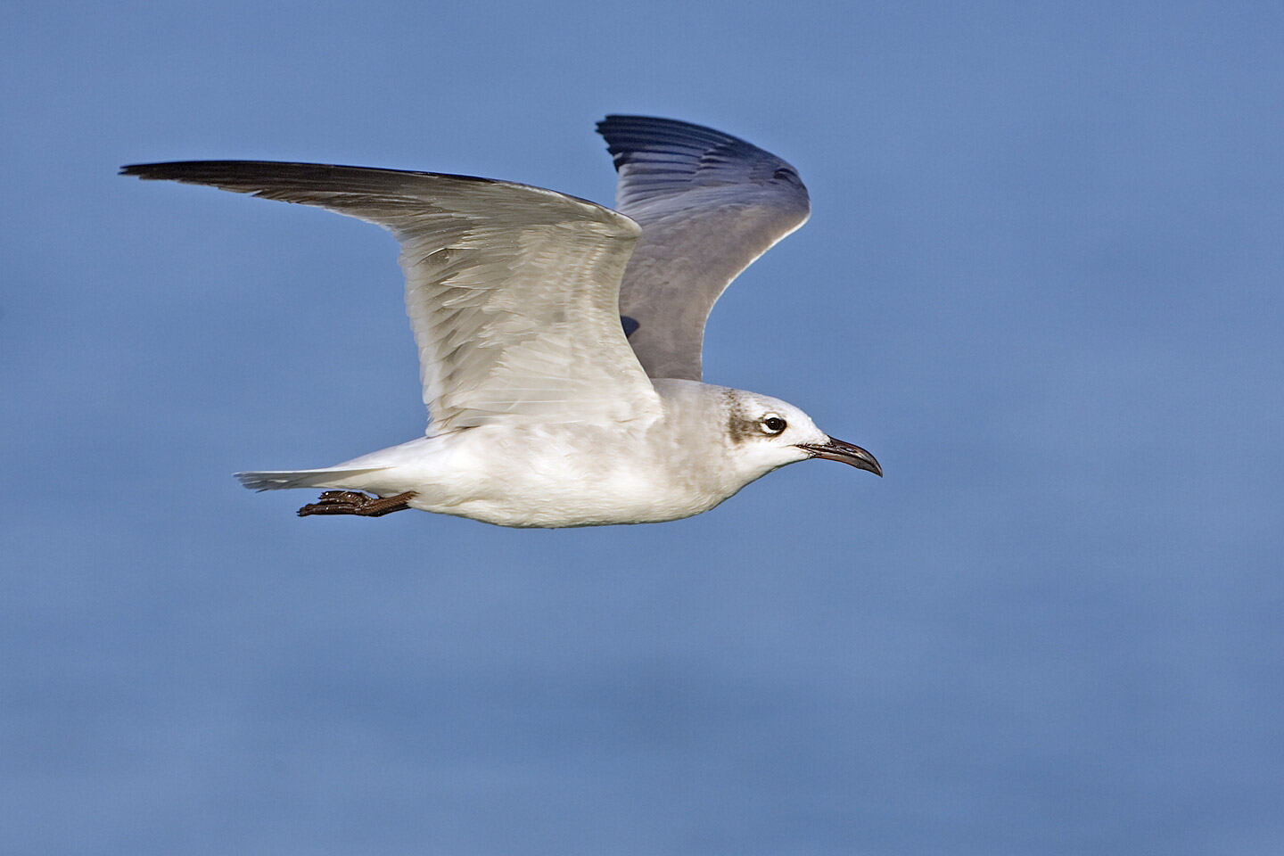 Laughing Gull wallpaper