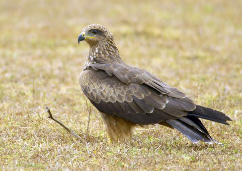Black Kite wallpaper