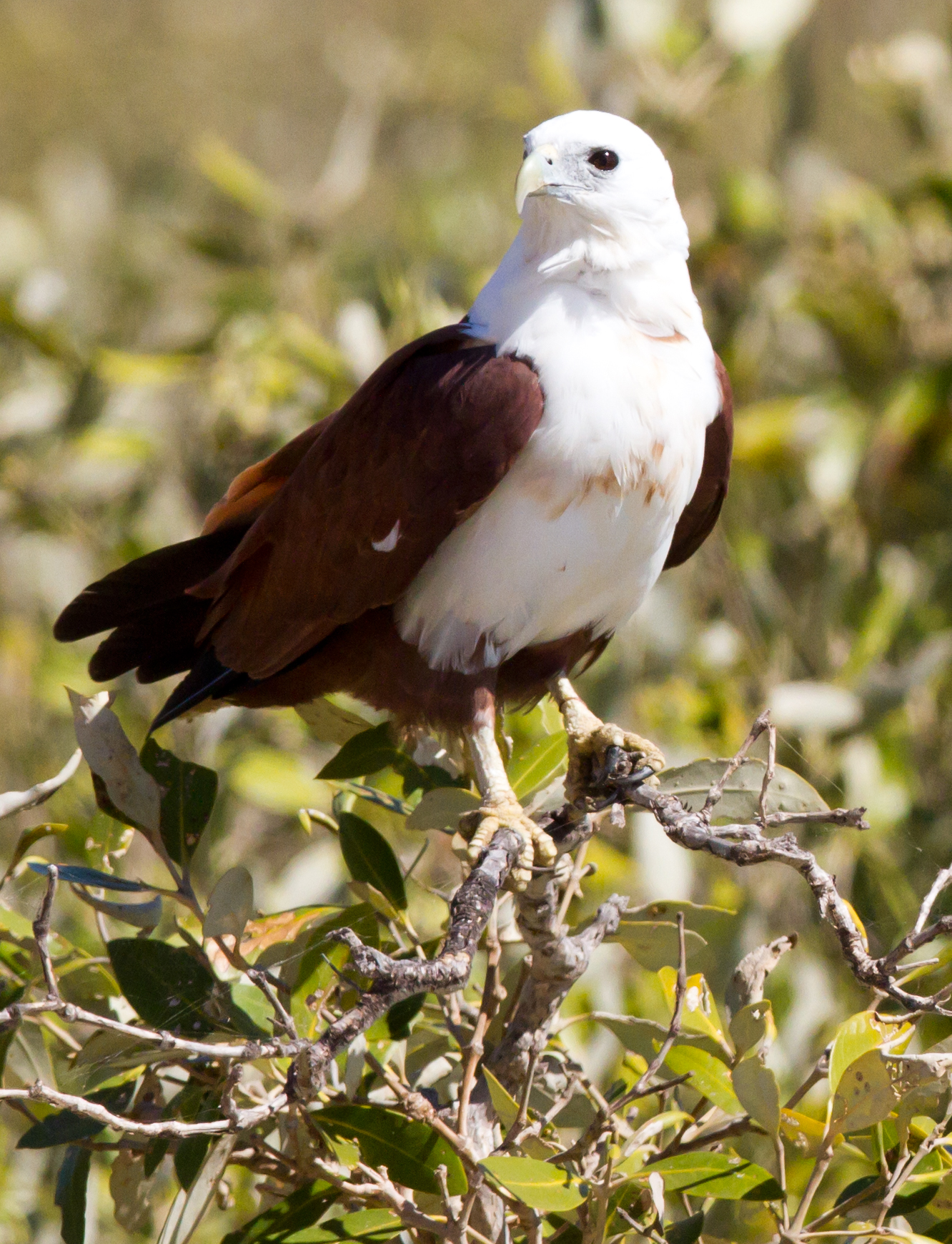 Brahminy Kite wallpaper
