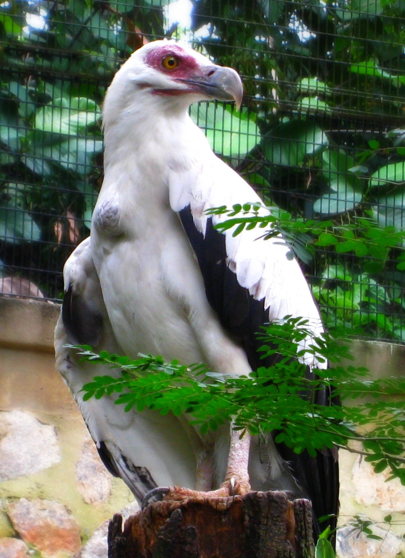 Palm-nut Vulture wallpaper