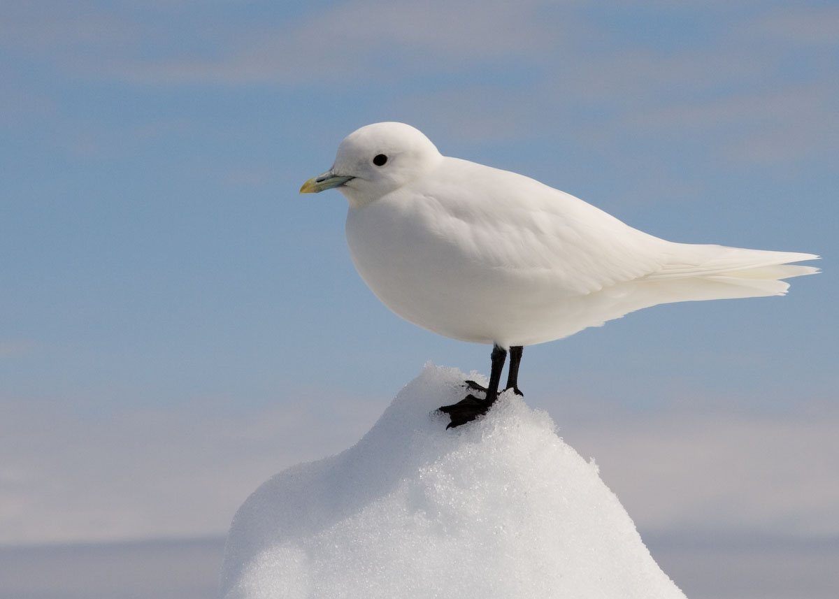 Ivory Gull wallpaper