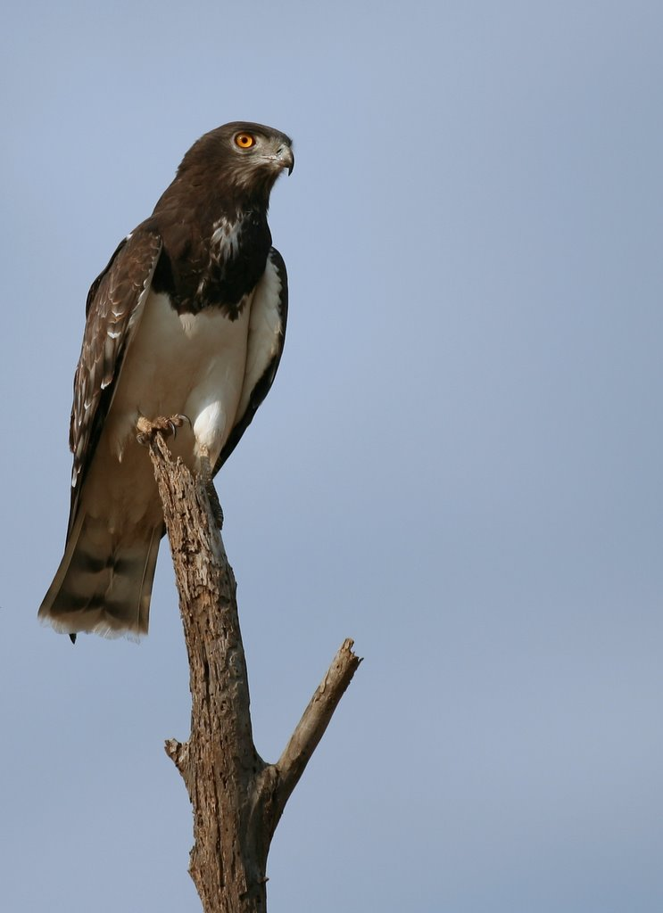 Black-chested Snake Eagle wallpaper