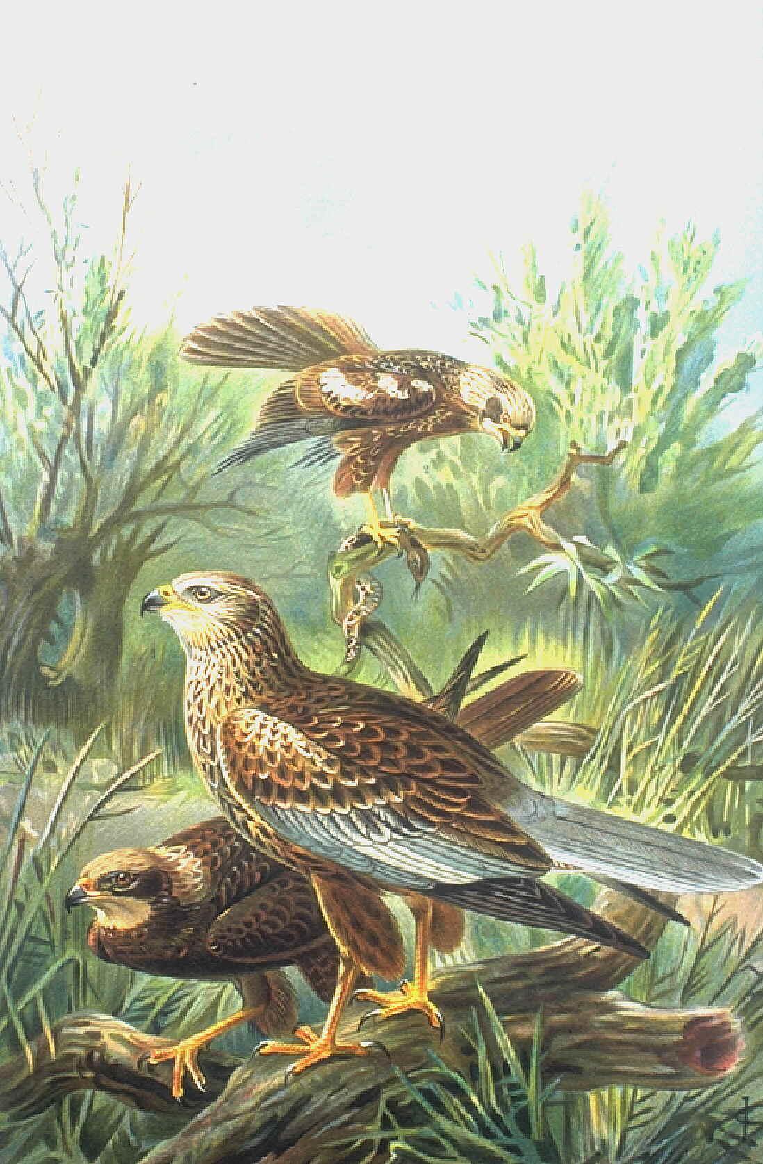 Western Marsh Harrier wallpaper