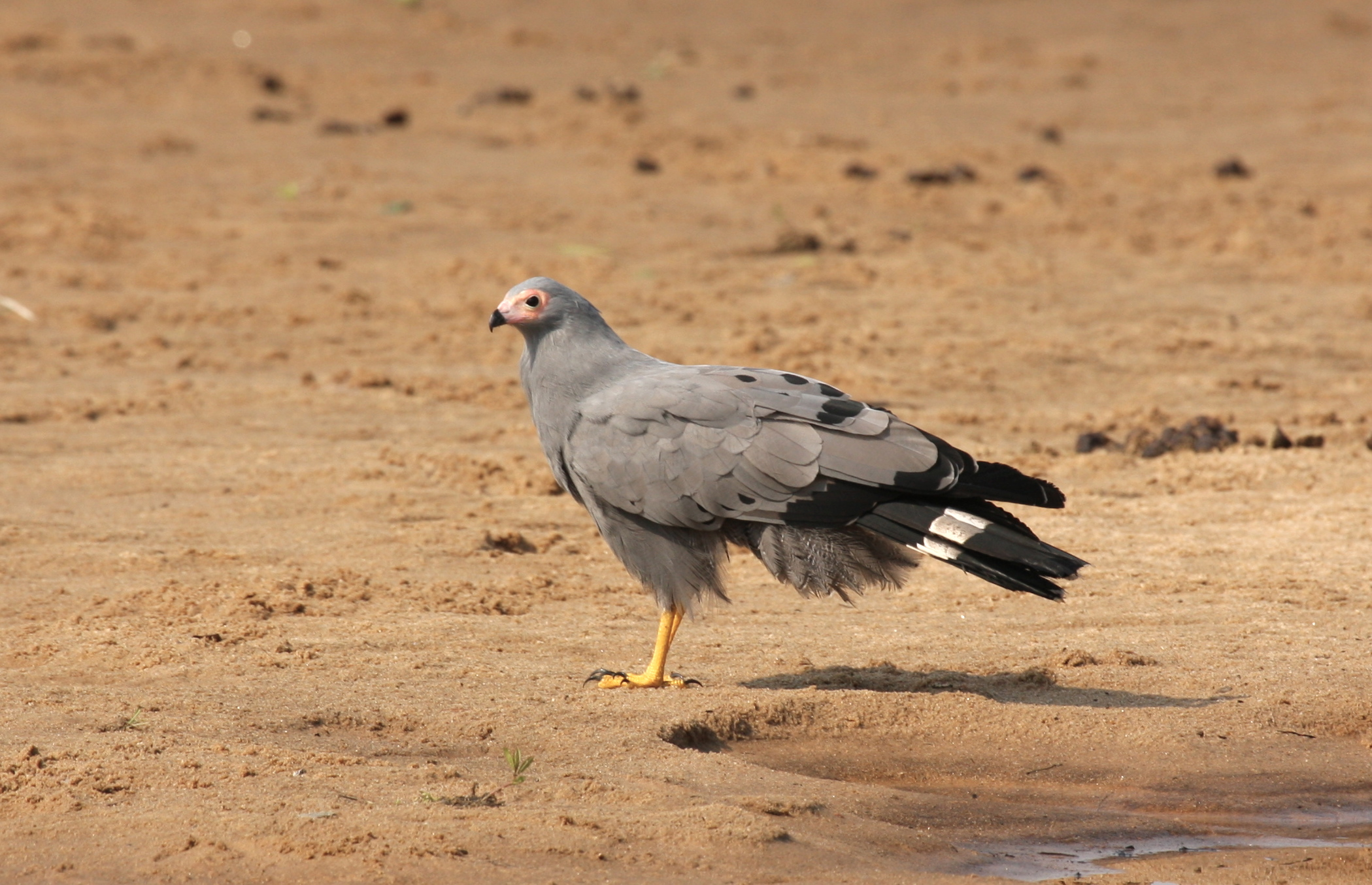 African Harrier-Hawk wallpaper