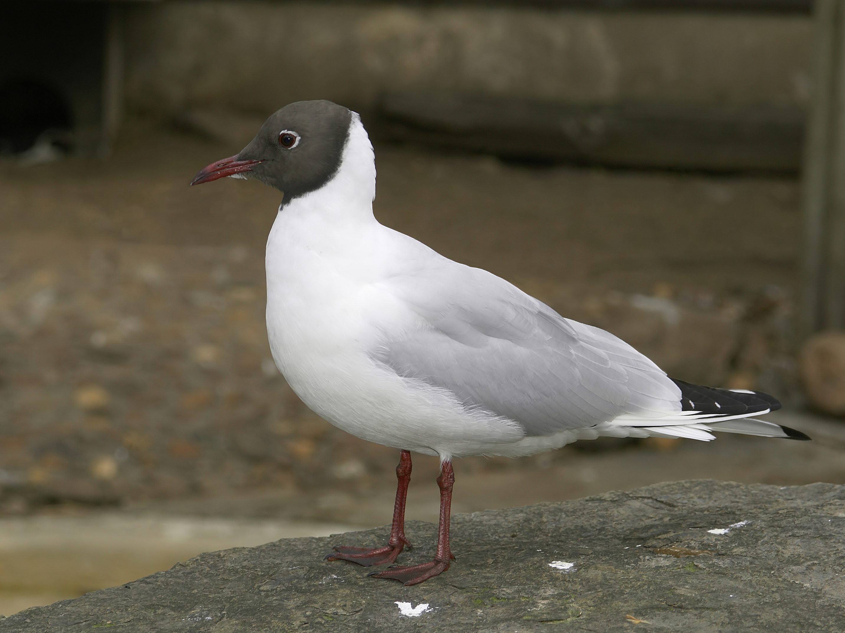 Common Black-headed Gull wallpaper